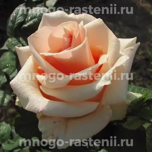 Роза Примадонна