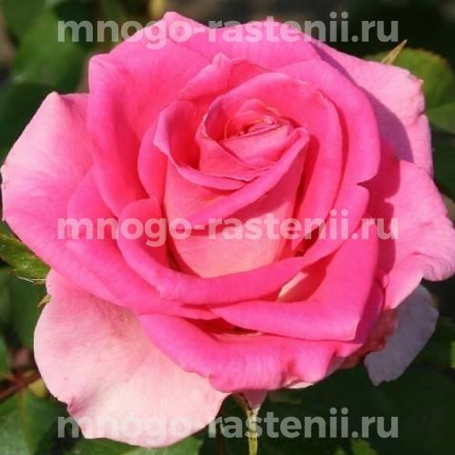 Роза Равель