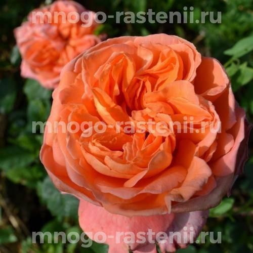 Роза Рене Госсини