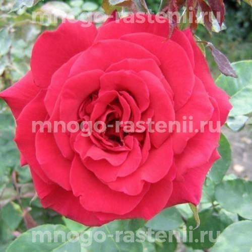 Роза Самурай