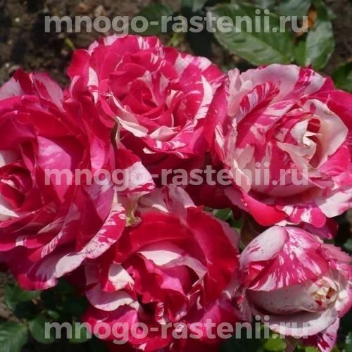 Роза Сатин