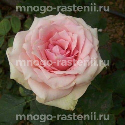 Роза Танцующая королева