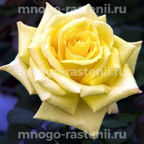 Роза Фриско