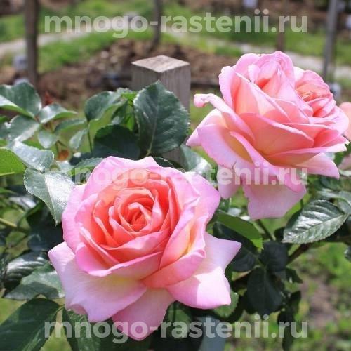 Роза Эль