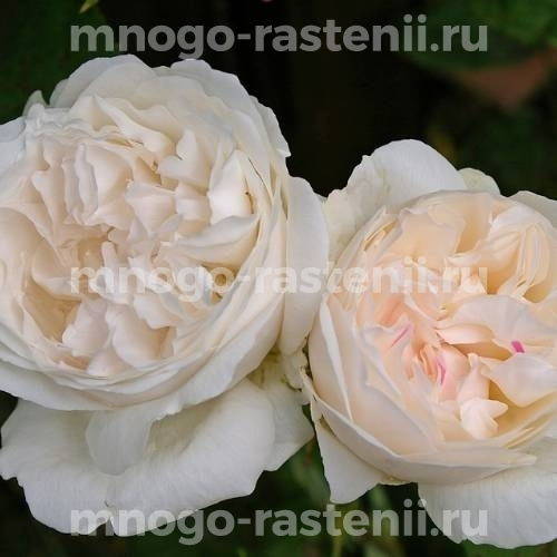 Роза Винчестер Кэсидрал