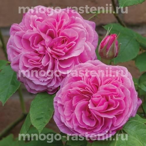 Роза Гертруда Джекилл
