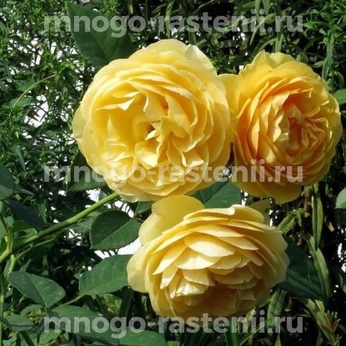 Роза Грэхэм Томас