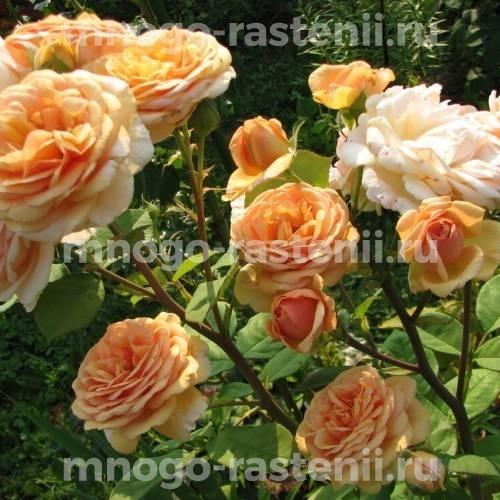 Роза Чарльз Остин