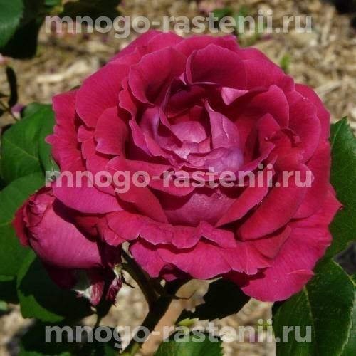 Роза Альфред Коломб