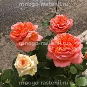 Роза Амброзия