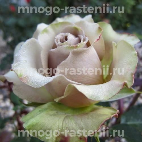 Роза Амнезия