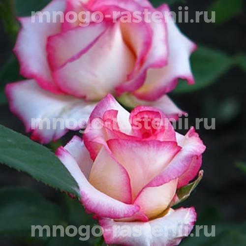 Роза Белла Вита
