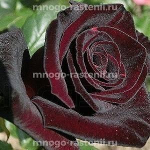 Роза Блейк