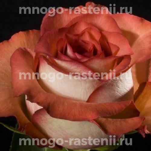 Роза Гиннесс