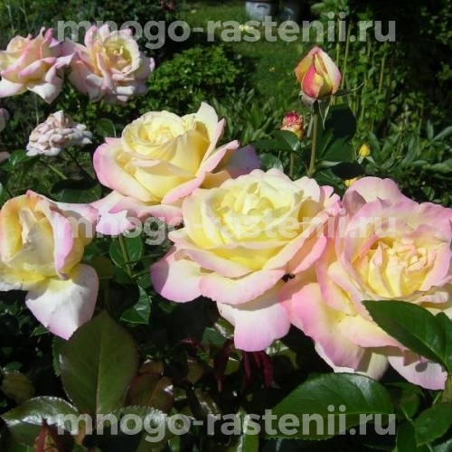 Роза Глория Дэй