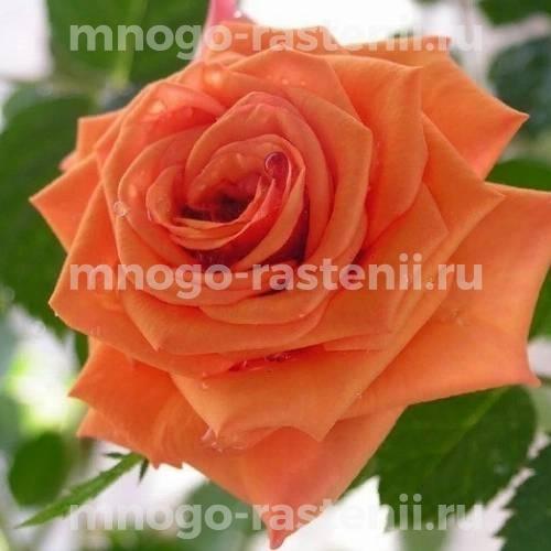 Роза Гоша