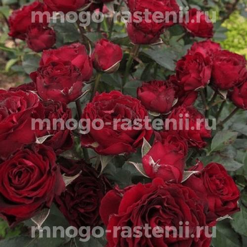 Роза Блэк Джек