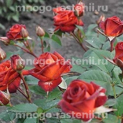 Роза Браун Шугар