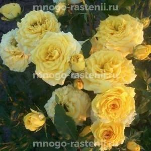 Роза Голд Микадо