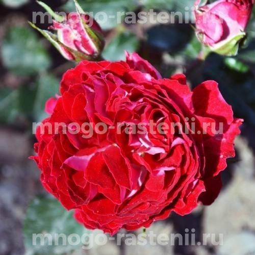 Роза Гранатовый браслет
