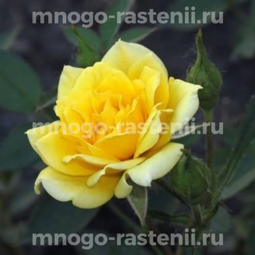 Роза Еллоу Долл