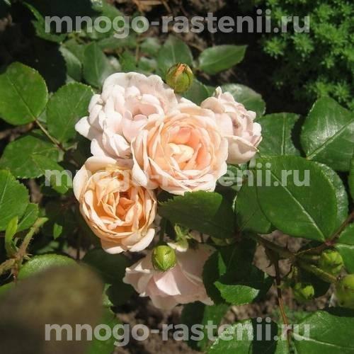 Роза Изис