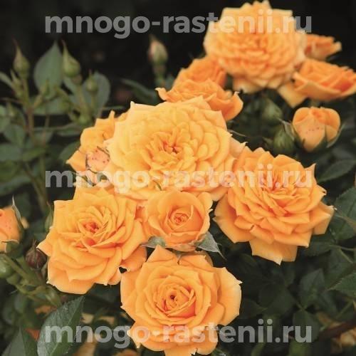 Роза Клементин