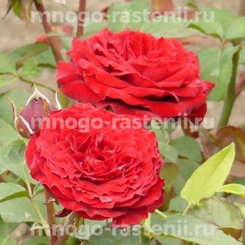 Роза Кордула