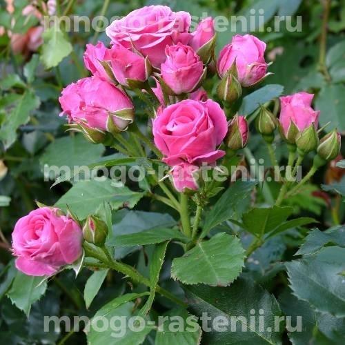 Роза Лавли Лидия