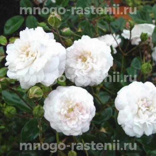 Роза Литтл Вайт