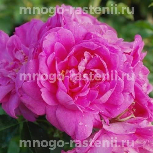 Роза Луис Джолиет
