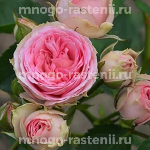 Роза Мини Эден