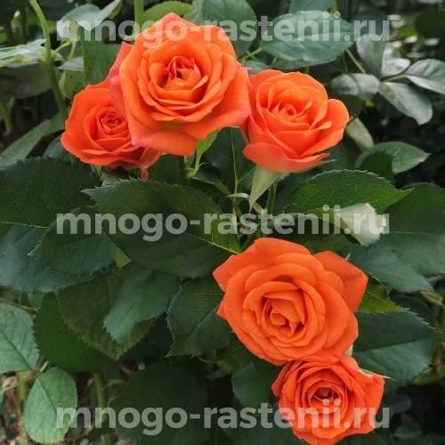 Роза Оранж бэби