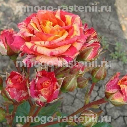 Роза Пинк Оранж