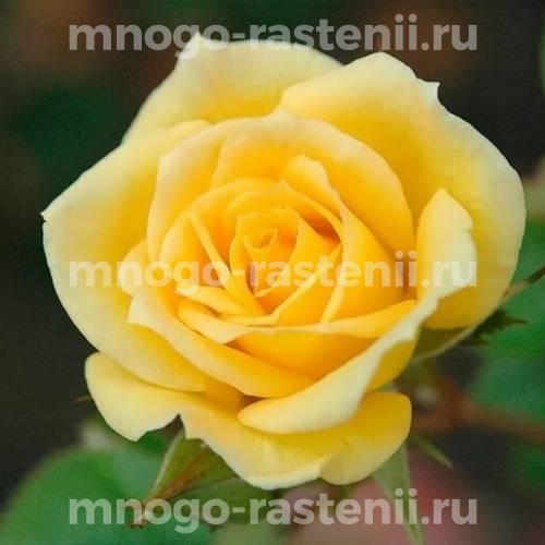 Роза Райзен Шайн