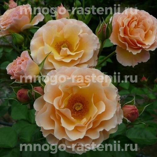 Роза Ребекка