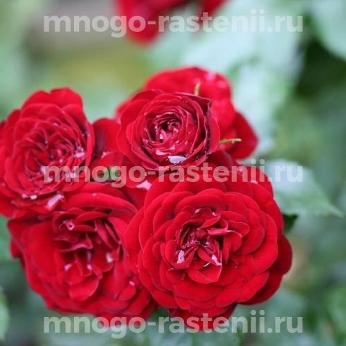 Роза Ред Хард