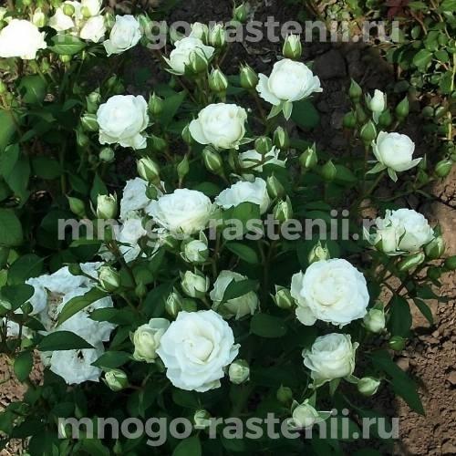 Роза Сноу Денс
