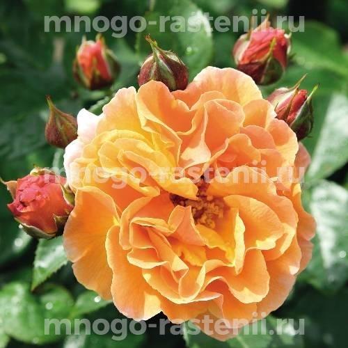 Роза Арабия