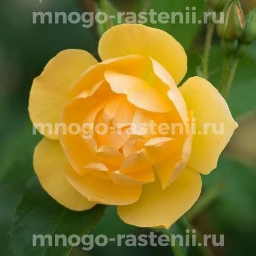 Роза Баттеркап