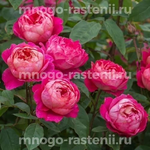 Роза Бенджамин Бритен