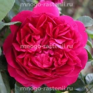 Роза Дарк Леди
