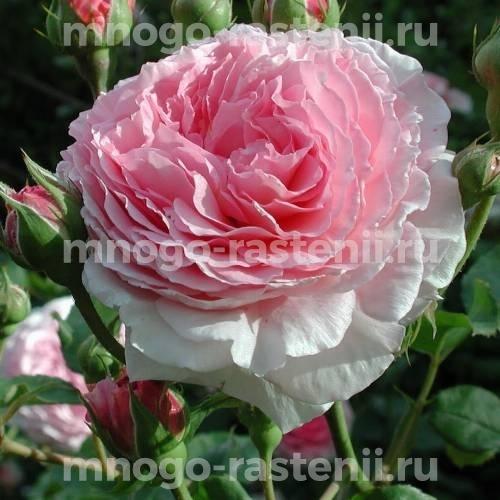Роза Джеймс Галвей
