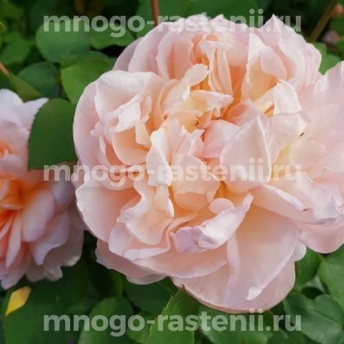Роза Зе Леди Гарденер