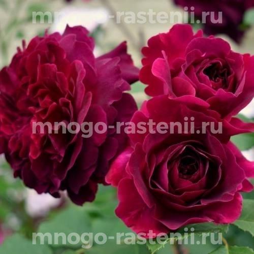 Роза Манстед Вуд