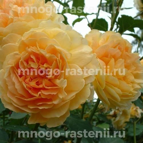 Роза Мулинекс