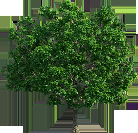 Саженцы крупномеров - преимущества выбора посадочного материала от питомника Много Растений